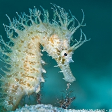 The seahorses of Capo Galera (Alghero - Sardinia)
